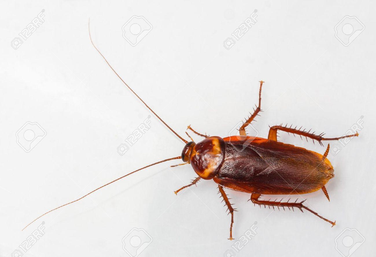 18098292 American cockroach Periplaneta Americana isolated on white Stock Photo