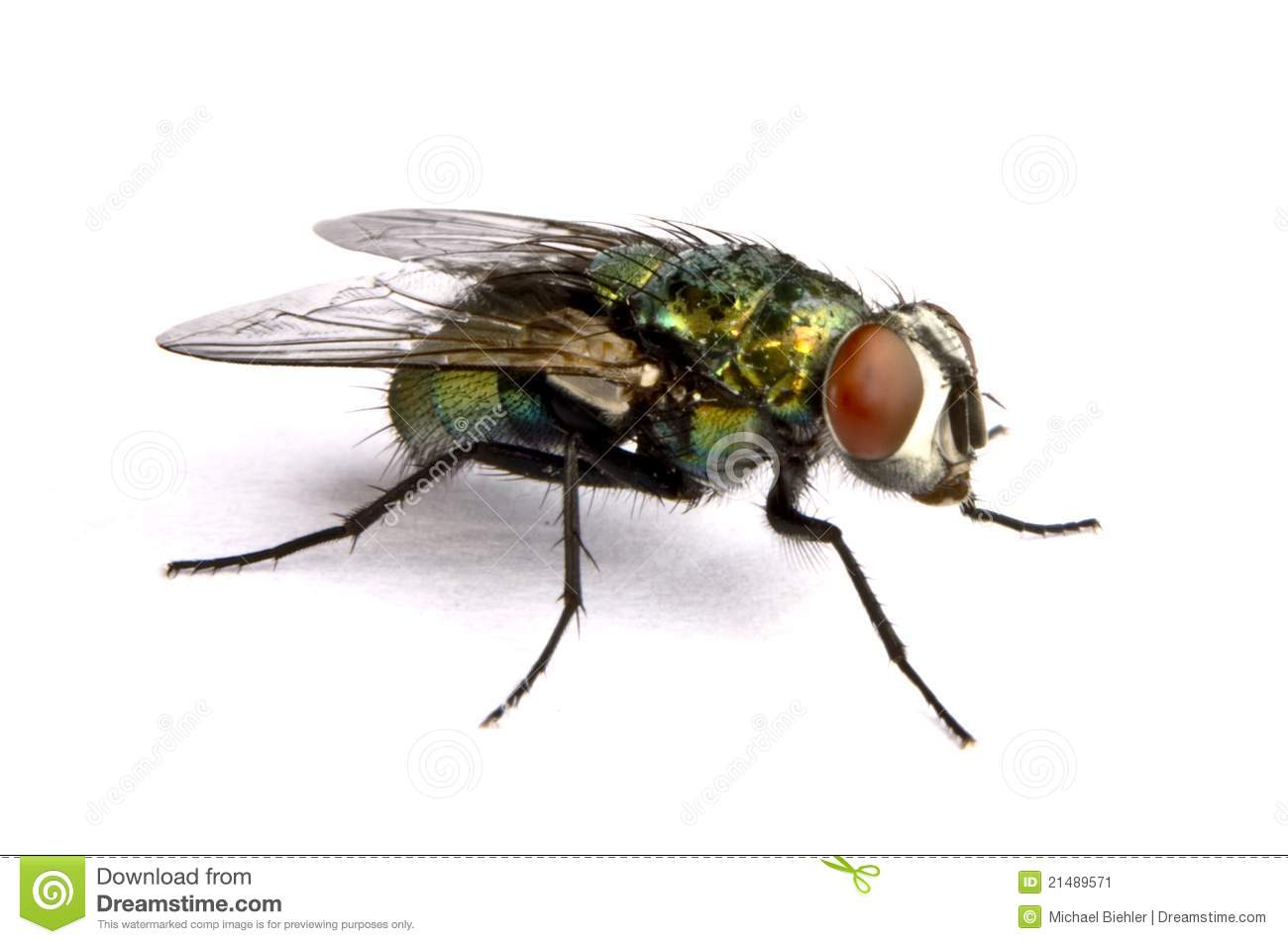 iridescent house fly close up 21489571